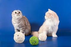 Skotska raka kattungar Arkivfoto