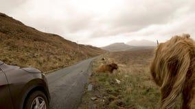Skotskt höglands- nötkreatur bredvid vägen för enkelt spår på ön av Skye - Skottland lager videofilmer
