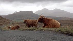 Skotskt höglands- nötkreatur bredvid vägen för enkelt spår på ön av Skye - Skottland stock video