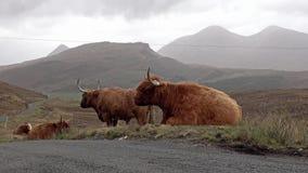 Skotskt höglands- nötkreatur bredvid vägen för enkelt spår på ön av Skye - Skottland arkivfilmer