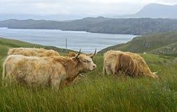 Skotskt höglands- nötkreatur Fotografering för Bildbyråer