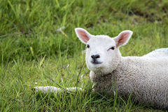 Skotskt lamm Royaltyfria Foton
