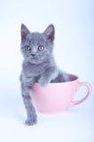 Skotskt rakt kattungesammanträde i rosa färgkopp Arkivfoton