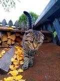 Skotskt veck för grå randig kattunge royaltyfri bild