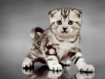 Skotskt veck för kattunge Arkivfoton