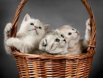 Skotskt veck för kattunge Arkivbilder