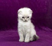 Skotskt veck för vit kattunge Royaltyfri Fotografi