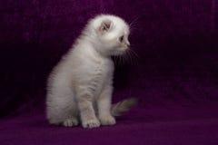 Skotskt veck för vit kattunge Arkivbilder