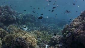 Skott över en intakt korallrev med koraller och många tropisk fisk, ultrarapid lager videofilmer