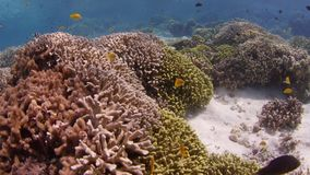 Skott över en intakt korallrev med koraller och många tropisk fisk, ultrarapid arkivfilmer