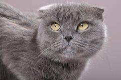skott för kattöraveck Arkivbilder