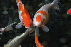 Skott för vinkel för Koi fisk högt Fotografering för Bildbyråer