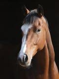 Skott för hästhuvud Fotografering för Bildbyråer