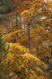 Skotte Autumn Foliage Royaltyfria Foton