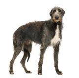 Skotte Deerhound som ser kameran Arkivfoto