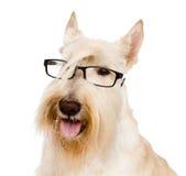 Skotte Terrier med exponeringsglas bakgrund isolerad white Arkivfoto