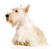 Skotte Terrier som isoleras på vit bakgrund Arkivfoto