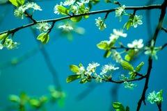 Skottet av det blommande körsbärsröda trädet blomstrar på blå bakgrund Arkivfoto