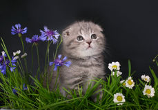 Skottish fold kitten in flowers. Royalty Free Stock Images