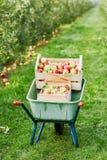 Skottkärra med spjällådor av röda äpplen på lantgård Royaltyfri Fotografi