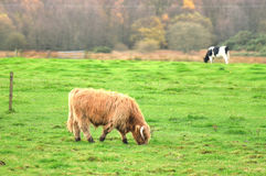 Skottland Angus Bulls och kor arkivfoton