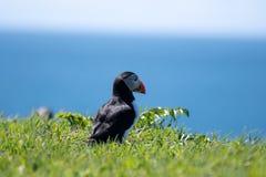 Skottland färgglad lunnefågel/lunnefåglar på kusten av Treshnish öar arkivbilder