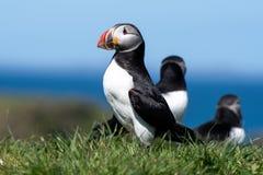 Skottland färgglad lunnefågel/lunnefåglar på kusten av Treshnish öar royaltyfri fotografi
