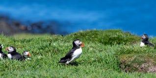 Skottland färgglad lunnefågel/lunnefåglar på kusten av Treshnish öar royaltyfria foton