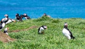 Skottland färgglad lunnefågel/lunnefåglar på kusten av Treshnish öar arkivfoto