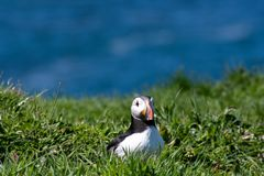 Skottland färgglad lunnefågel/lunnefåglar på kusten av Treshnish öar arkivbild