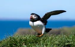 Skottland färgglad lunnefågel/Puffinsat kusten av Treshnish öar royaltyfri foto