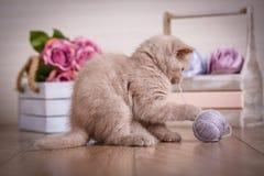 Skottland katt, kattunge Liten skämtsam kattunge med bollen av trådar Royaltyfri Fotografi