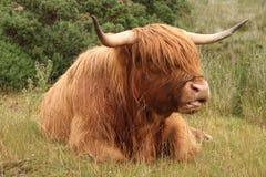 Skottland ko Arkivbild