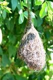 Skowronków gniazdeczka Zdjęcie Stock