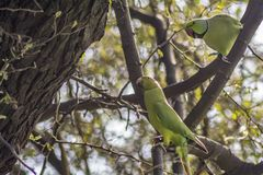 Skräck - parakiter med att skrämma blick arkivfoton