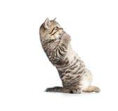 Skrämd eller häpen stående brittish kattunge Arkivfoto