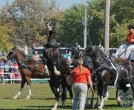 Skrämd häst på landsmässan fotografering för bildbyråer