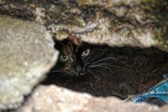 Skrämd katt som ut kikar Royaltyfria Bilder