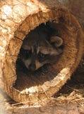 skrämd raccoon Fotografering för Bildbyråer