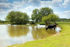 Skrämma att dricka på en sjö nya Forest Hampshire England UK på en sommardag royaltyfria bilder
