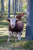Skrämma att gå och att äta gras i en skog arkivfoto