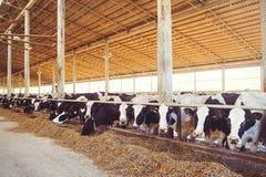 Skrämma lantgårdbegreppet av jordbruk, åkerbrukt och boskap - en flock av kor som använder hö i en ladugård på en mejerilantgård royaltyfri foto