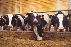 Skrämma lantgårdbegreppet av jordbruk, åkerbrukt och boskap - en flock av kor som använder hö i en ladugård på en mejerilantgård royaltyfria foton