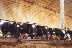 Skrämma lantgårdbegreppet av jordbruk, åkerbrukt och boskap - en flock av kor som använder hö i en ladugård på en mejerilantgård arkivfoton