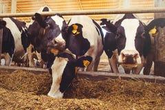 Skrämma lantgårdbegreppet av jordbruk, åkerbrukt och boskap - en flock av kor som använder hö i en ladugård på en mejerilantgård royaltyfri bild