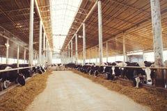 Skrämma lantgårdbegreppet av jordbruk, åkerbrukt och boskap - en flock av kor som använder hö i en ladugård på en mejerilantgård royaltyfria bilder