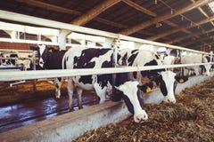 Skrämma lantgårdbegreppet av jordbruk, åkerbrukt och boskap - en flock av kor som använder hö i en ladugård på en mejerilantgård arkivbilder
