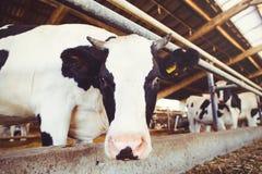 Skrämma lantgårdbegreppet av jordbruk, åkerbrukt och boskap - en flock av kor som använder hö i en ladugård på en mejerilantgård fotografering för bildbyråer