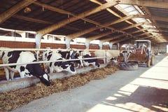 Skrämma lantgårdbegreppet av jordbruk, åkerbrukt och boskap - en flock av kor, som använder hö i en ladugård på en mejerilantgård Royaltyfria Bilder
