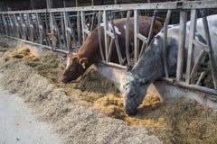 Skrämma lantgårdbegreppet av jordbruk, a-flock av kor som använder hö i a arkivfoto